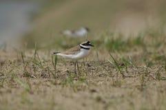 Liten Ringed brockfågel, grus, fåglar Royaltyfria Foton