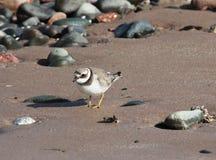 Liten Ringed brockfågelcharadriusdubius på kust Arkivfoto