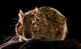 liten rodent Royaltyfria Bilder