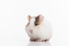 Liten rolig hamster på vit Arkivfoton