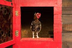 liten rooster royaltyfria bilder