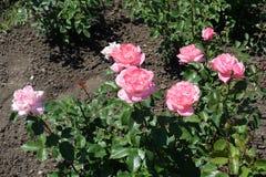 Liten rosa buske med rosa blommor royaltyfri fotografi
