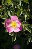 Liten rosa färgblomma Royaltyfria Foton