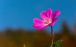 Liten rosa färgblomma - pelargondissectum Arkivbilder