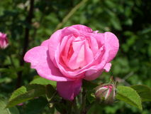 Liten rosa färgros arkivfoton