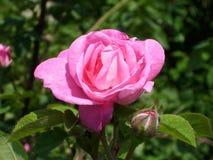 Liten rosa färgros royaltyfria bilder