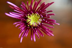 Liten rosa New England aster royaltyfri fotografi