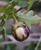 Liten rund aubergine på vinrankan Arkivfoto