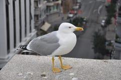 Liten seagull ovanför stadsgatan Arkivbild