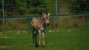 Liten sebra på zoo Arkivfoton