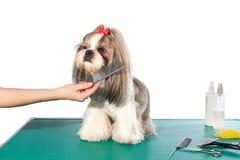 Liten shih-tzuhund på groomer'sens händer med hårkammen Royaltyfri Bild