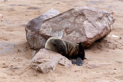 Liten sjölejon - brun pälsskyddsremsa i uddekorset, Namibia Arkivfoto