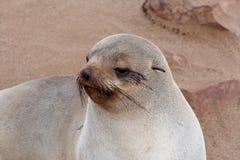 Liten sjölejon - brun pälsskyddsremsa i uddekorset, Namibia Royaltyfri Bild