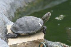 liten sköldpadda Royaltyfria Bilder