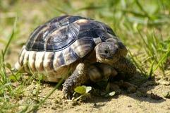 liten sköldpadda Royaltyfria Foton