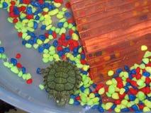 Liten sköldpadda i vattnet med färgrika kiselstenar royaltyfri foto