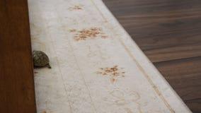 Liten sköldpadda och en inhemsk katt inomhus Exotiskt djur hemma lager videofilmer
