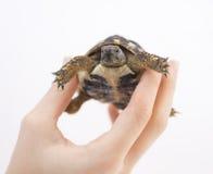 Liten sköldpadda (sköldpadda) i hand Fotografering för Bildbyråer