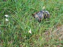 liten sköldpadda som är våt efter regn på gröna gräs Royaltyfri Fotografi