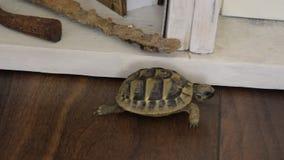 Liten sköldpadda som inomhus går lager videofilmer