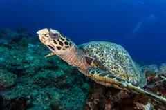 Liten sköldpaddaframsida Arkivbilder