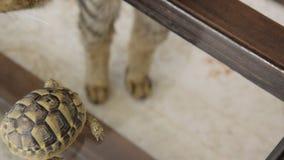 Liten sk?ldpadda och en inhemsk katt inomhus Exotiskt djur hemma lager videofilmer