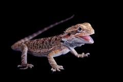 Liten skäggig drake som isoleras på svart Arkivfoto