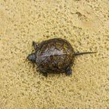 Liten sköldpadda Arkivfoto