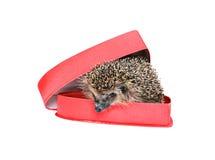 Liten skogigelkott i en röd gåvaask i hjärtaform Royaltyfri Fotografi