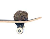 Liten skogigelkott på en isolerad skateboard Royaltyfri Fotografi