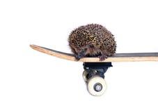 Liten skogigelkott på en isolerad skateboard Arkivfoto
