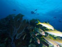 Liten skola av den gula goatfishen med dykaren i bakgrund på en typisk Bonaire rev, nederländska Antillerna Royaltyfria Bilder