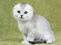 Liten skotsk kattunge på grön bakgrund Royaltyfri Fotografi