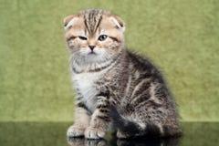 Liten skotsk kattunge på grön bakgrund Royaltyfri Bild