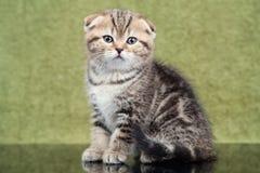 Liten skotsk kattunge på grön bakgrund Royaltyfria Bilder