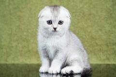 Liten skotsk kattunge på grön bakgrund Arkivfoton
