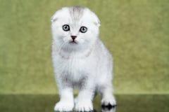 Liten skotsk kattunge på grön bakgrund Arkivfoto