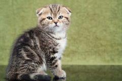 Liten skotsk kattunge på grön bakgrund Arkivbild
