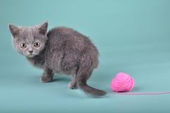 Liten skotsk rak kattunge med en woolball Arkivfoton