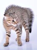 Liten skotsk rak kattunge som ser skrämd Arkivbilder