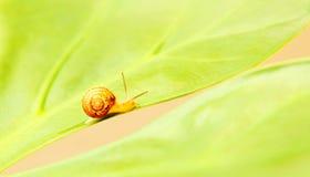 liten snail Fotografering för Bildbyråer