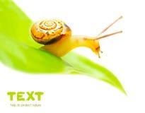 liten snail Arkivbilder