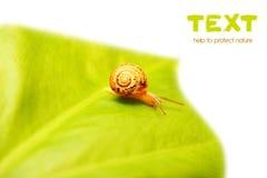 liten snail Royaltyfri Bild