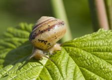 liten snail f?r brun gr?n leaf I dagsljus royaltyfria bilder