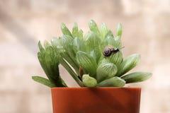 Liten snigel på kaktuns Royaltyfria Bilder