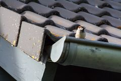 Liten sparv på taket av ett hus fotografering för bildbyråer