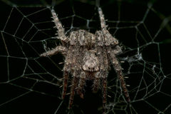 Liten spetsig orb som väver spindeln i rengöringsduk med svart bakgrund royaltyfri fotografi