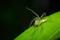 Liten spindel på det gröna bladet Arkivfoto