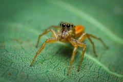 liten spindel som gelé royaltyfria foton