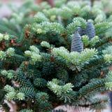 liten spruce för blå frukt Fotografering för Bildbyråer